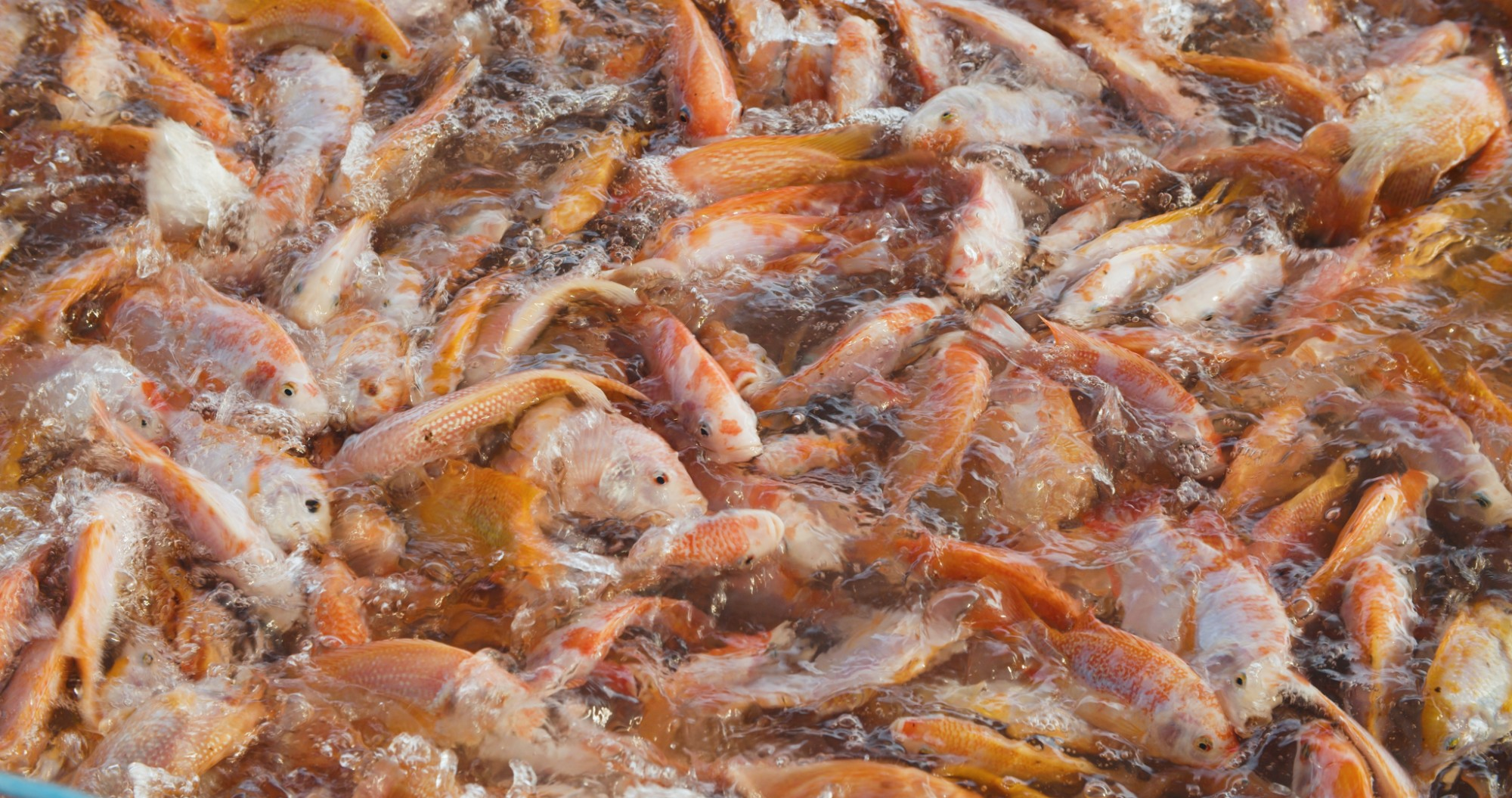 Procedures for prevention and treatment of parasitosis (Flukes and Trichodina ) in Red tilapia