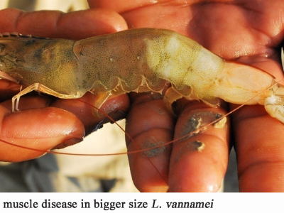 Prevention of White Feces Syndrome, White Gut Disease and White Muscle Disease in Shrimp