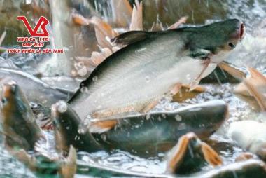 Thị trường cá nguyên liệu tại ĐBSCL tiếp tục xu hướng bắt ngoài nhiều của các doanh nghiệp lớn và đơn vị gia công
