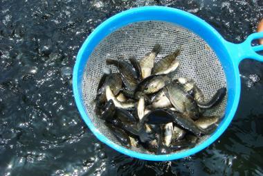 Báo động tăng sự cái hóa trong đàn cá rô phi toàn đực do thức ăn