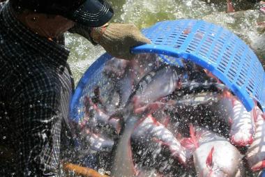 Giá cá tra nhích nhẹ, tập trung mở rộng thị trường tiêu thụ nội địa