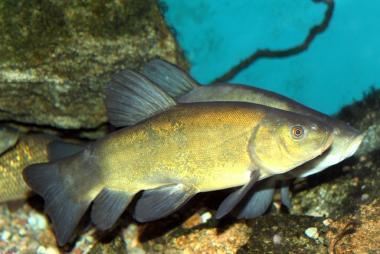 Giá trị kinh tế từ cá quế