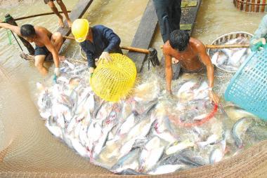 Giá cá tra tăng lại... đâm lo